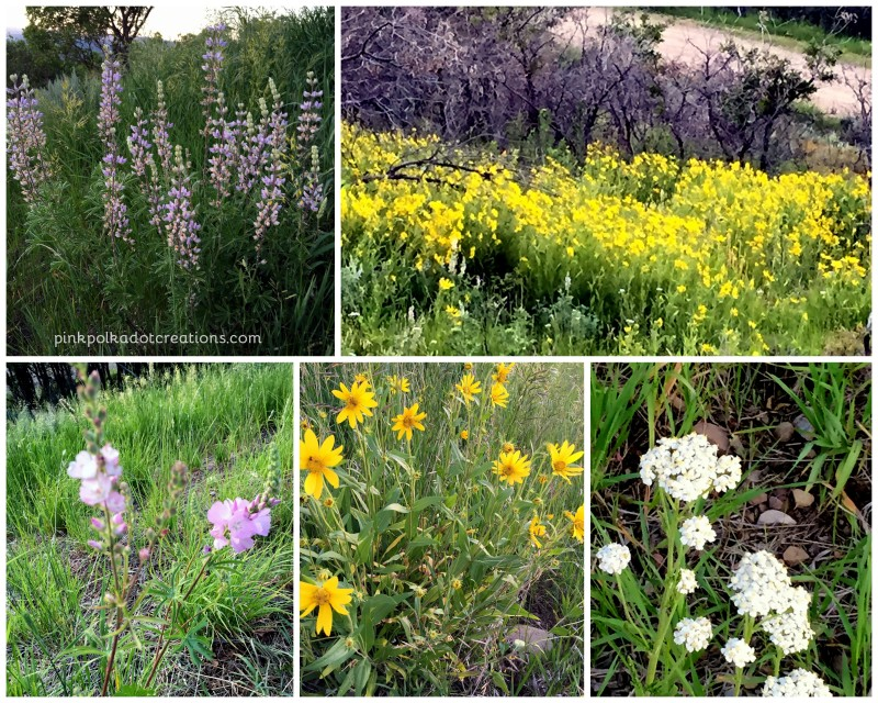wildflowers at cabin 2015