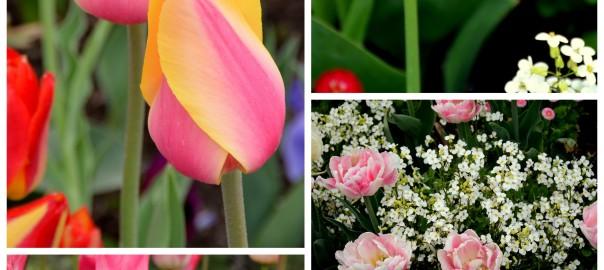 Tulip festival 2016-002