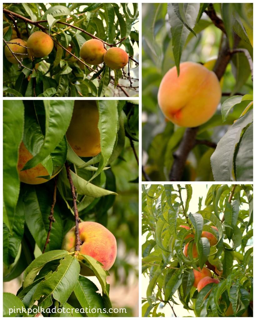 peaches 2016